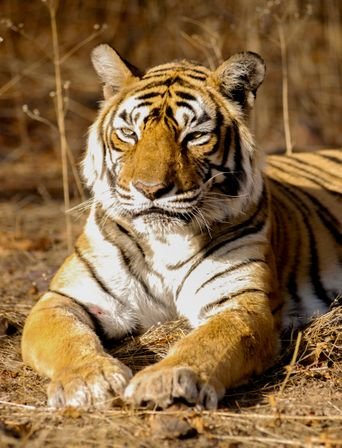 The World's Most Famous Tiger Poster