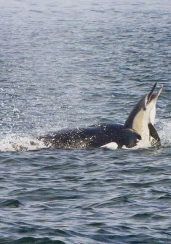 Killer Whales: The Mega Hunt Poster