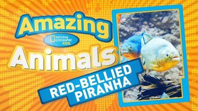 Season 01, Episode 03 Red-Bellied Piranha