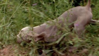 Season 01, Episode 08 Pug, Weimaraner, Maltese, Soft Coated Wheaten Terrier, Akita