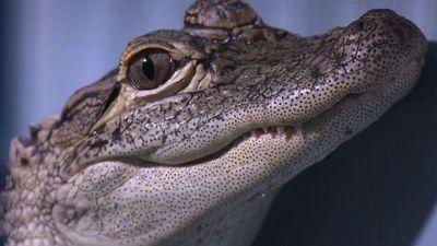 Season 08, Episode 02 New Hampshire - Alligator Showdown
