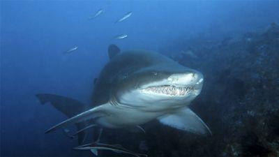 Season 01, Episode 09 Grey Nurse Shark