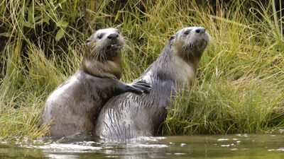 Season 16, Episode 06 Yellowstone Otters