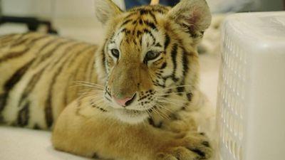 Season 01, Episode 03 Tiger On The Loose