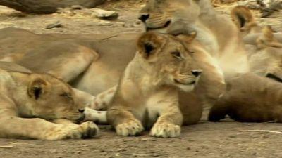 Season 01, Episode 32 Lions on the Edge