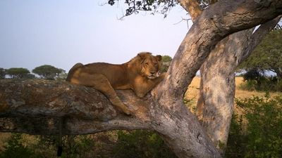Season 01, Episode 06 Tree Climbing Lions