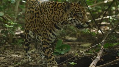 Season 01, Episode 02 Jaguar Beach Battle