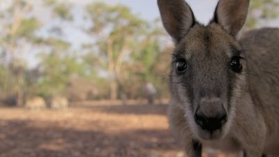 Season 01, Episode 03 Rescuing a Baby Kangaroo