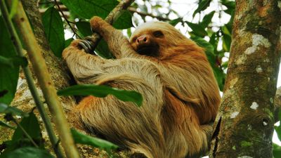 Season 01, Episode 06 Laziest: Sloth Vs. Koala - Ep. 6