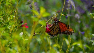 Season 01, Episode 02 Monarchs Amazing Journey