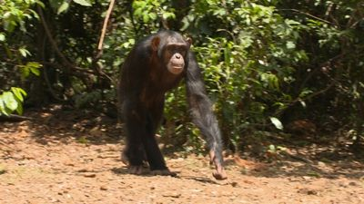Season 01, Episode 41 Chimp School