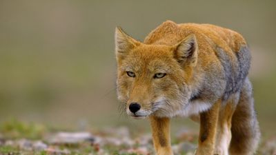 Season 01, Episode 39 China's Wild Side: Tibet's Animal Kingdom