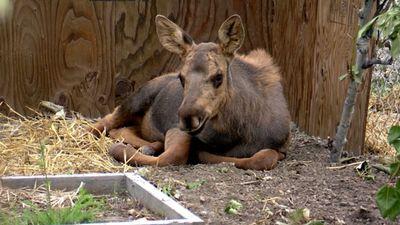 Season 01, Episode 07 Set Loose a Moose