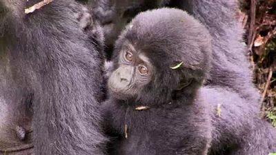 Season 03, Episode 19 Up Close With Gorillas
