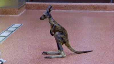 Season 03, Episode 07 Best of Kangaloom: Kangaroos, Wallabies and Wallaroos