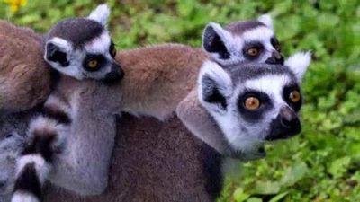 Season 03, Episode 04 Lemur Babies!