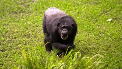 Season 03, Episode 16 Cute Chimps & Amazing Anteaters