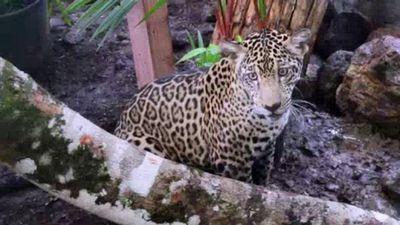 Season 03, Episode 06 Panama Wildlife Rescue