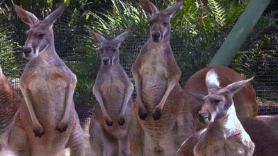 Season 03, Episode 01 Kangaroo Friends in Hyrax Places