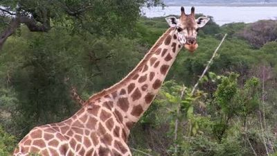 Season 03, Episode 17 African Giraffe Rescue