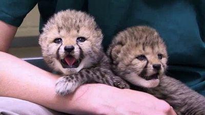 Season 03, Episode 08 Cheetahs by Land, Lions by Sea